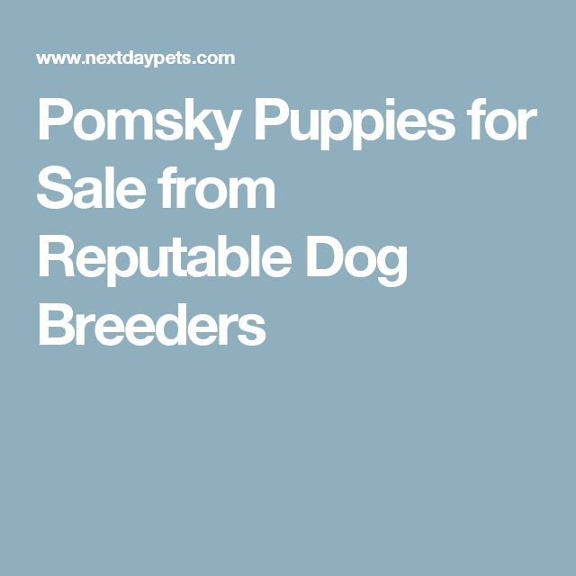 Pomsky Puppies for Sale from Reputable Dog Breeders