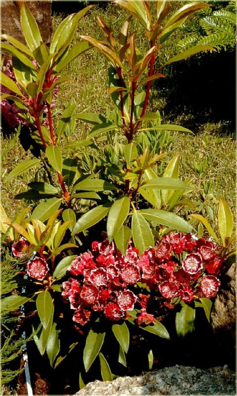 Kalmia wąskolistna  Kalmia angustifolia rośliny wrzosowate, wrzosowate różne, inne rośliny wrzosowate, ogród wrzosowiskowy, Kalmia wąskolistna, Kalmia angustifolia