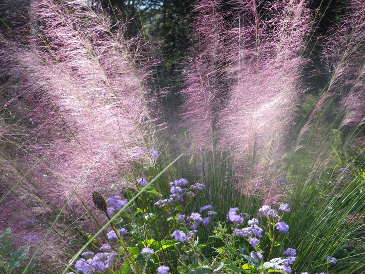 Gulf Coast Muhly, and Blue mist in Bloom at Brazos Bend State park Texas