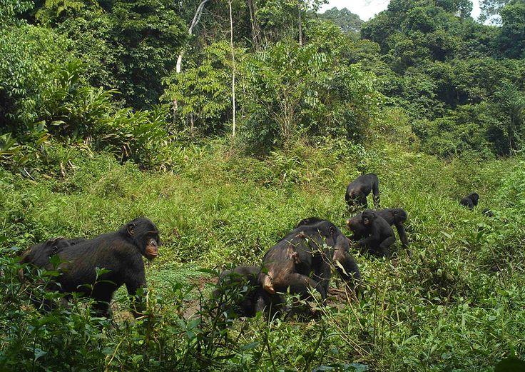 Tropical Rainforest Animals in Africa | ... Salonga National Park ...