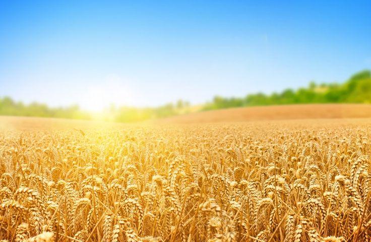 Wheat field Ultra HD wallpaper | UHD-Wallpapers.Net