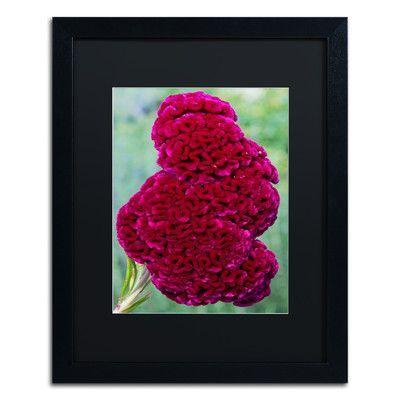 "Trademark Art ""Coxcomb Flower"" by Kurt Shaffer Framed Photographic Print Size:"