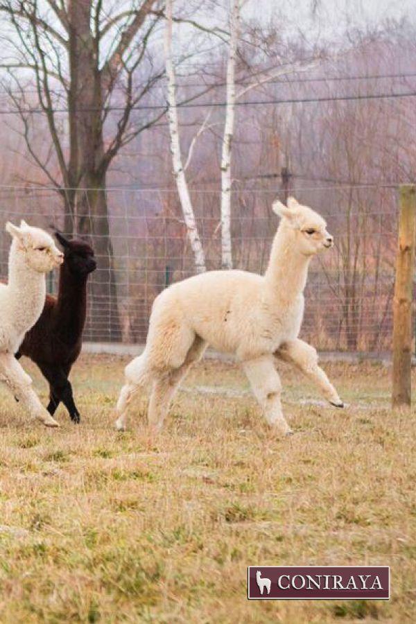 Let's play, let's play. Come on! ^_^ #alpaca #coniraya #alpacas #alpakino