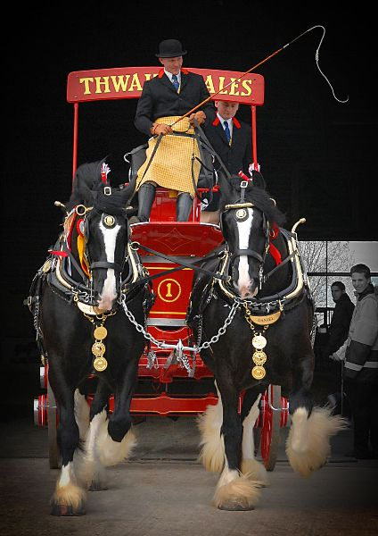 Two Shires at the Shire Horse Society Spring Show, 2013