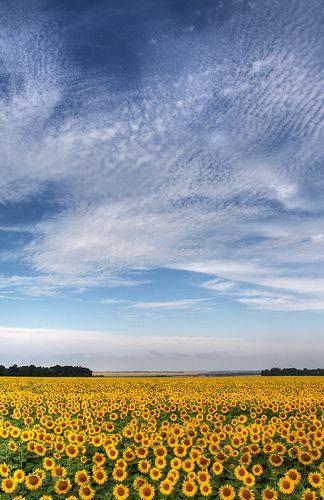 Sunflowers, Ukraine