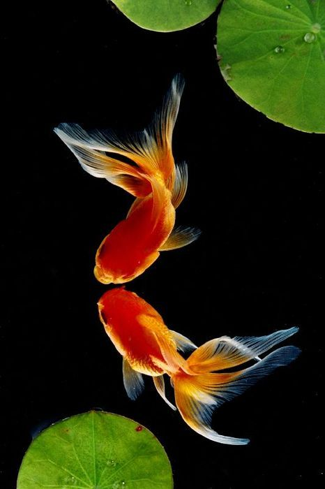 A pair of danding goldfish in colour...