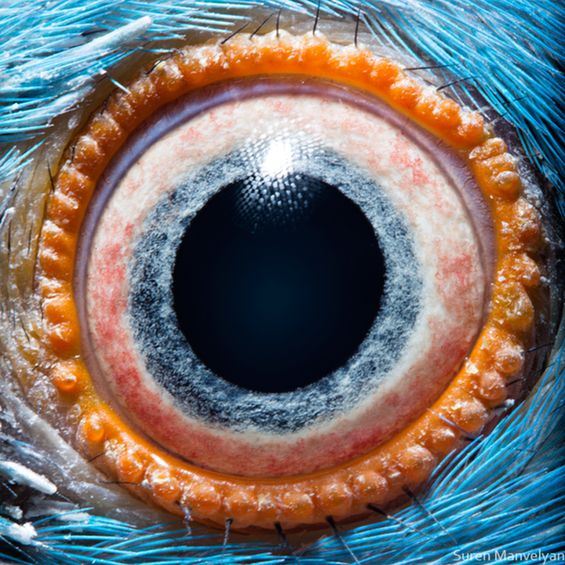 eye zoom / close-up photos of animals - anonymous intimate look into a galaxy of depth of the IRIS ; ) by photographer Suren Manvelyan http://www.surenmanvelyan.com via DesignFaves 2014-06 • depicted: Kramer's Parrott