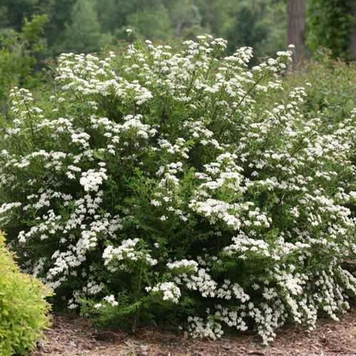Wedding cake spiraea nipponicua deer resistant shrubs for White flowering bush