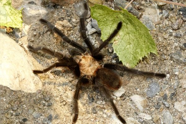 British government official refuses to get rid of pet tarantula