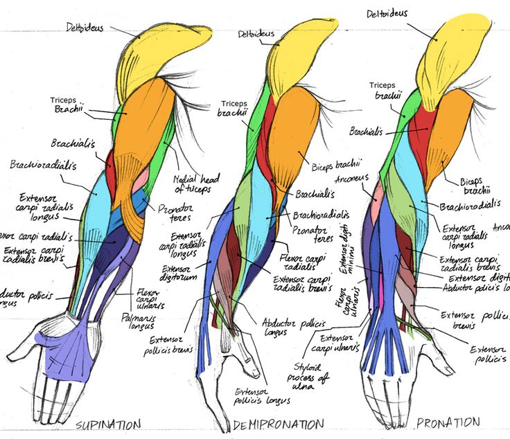 Comic Art Reference, Human Arm Muscles. This comic art reference shows the muscles in the human arm color coordinated.