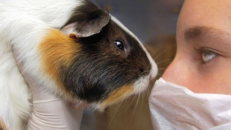 Petition · END use of guinea pigs in Unimep for animal testing· Change.org