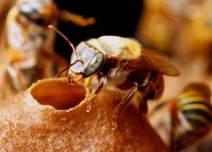 Mayan Stingless Bees Melipona Beecheii Are Probably The