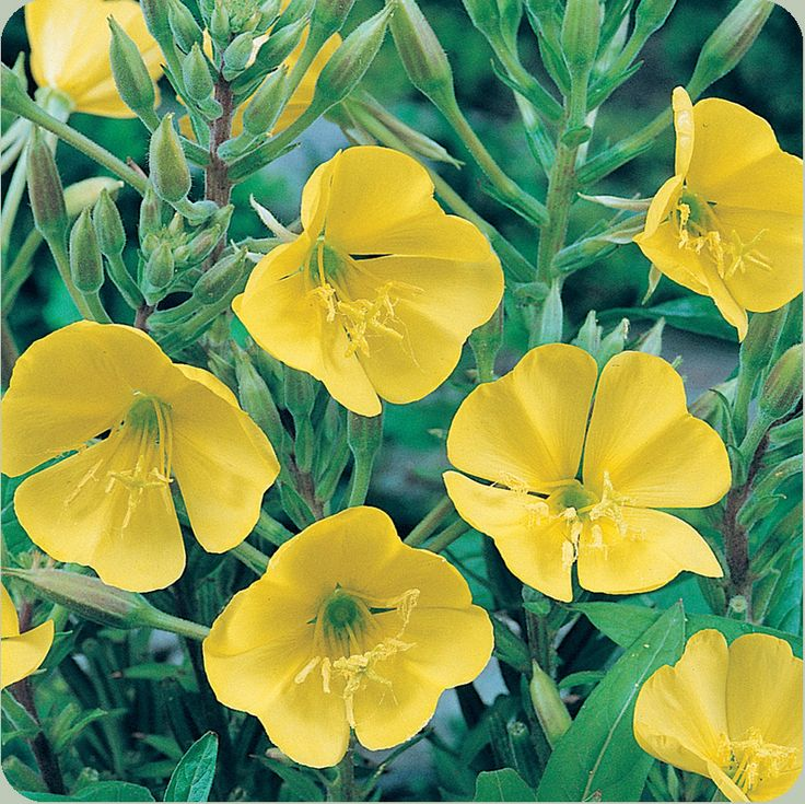 Evening primrose seeds contain a fragrant oil that plays an important part natural health. The seed oil contains gamma-linolenic acid (GLA), an omega-6 fatty acid that the body uses to manufacture a prostaglandin vital to soothing inflammation and supporting the immune system. It also helps keep the blood flowing freely, reduces high blood pressure, plays a role in reducing breast cancers,and lowers cholesterol.