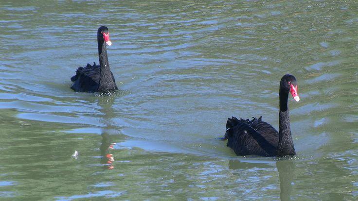 Black Swans, Murray River, South Australia