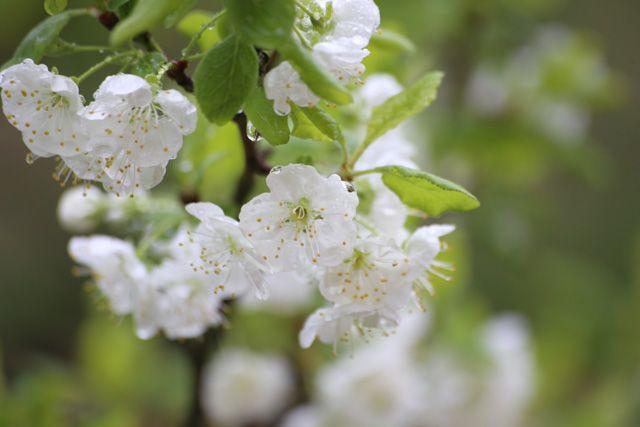 Luumupuu kukkii // Plum tree blossoming