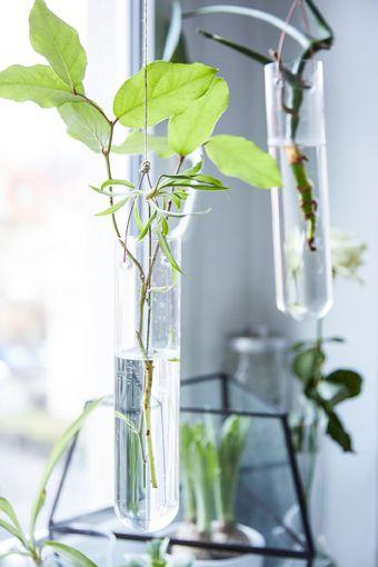 Einfach weiterwachsen Mit Pflanzen kannst du dein Zuhause preiswert einrichten. Besonders, wenn du abgeschnittene Triebe in Wasser für eine neue Pflanze anziehst. Dafür brauchst du einen gesunden Trieb, den du unter einem Blattansatz abschneidest. Alle Blätter darunter entfernen, oben einige stehen lassen. Dann den Zweig in Wasser hängen. Sobald der Trieb Wurzeln treibt, kannst du ihn in Erde umtopfen. Und der Kreislauf beginnt von Neuem!