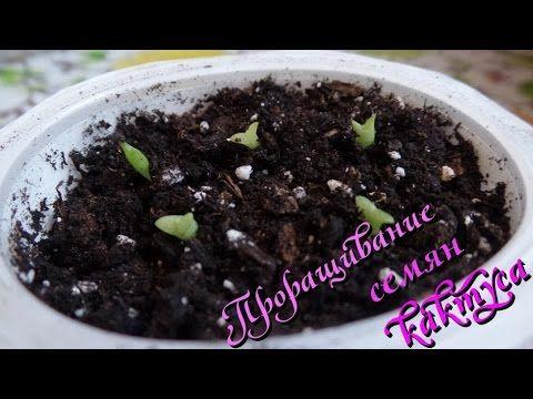 Проращивание семян кактуса безземельным способом - YouTube