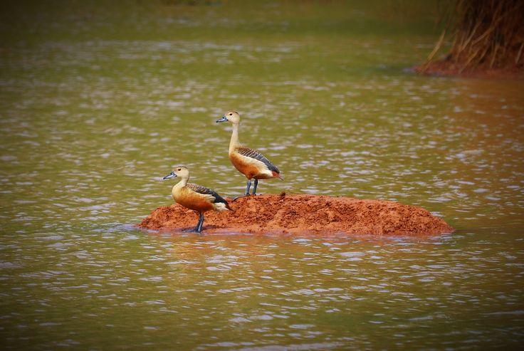 lesser whistling duck in 2020 Pics, Animals, Village