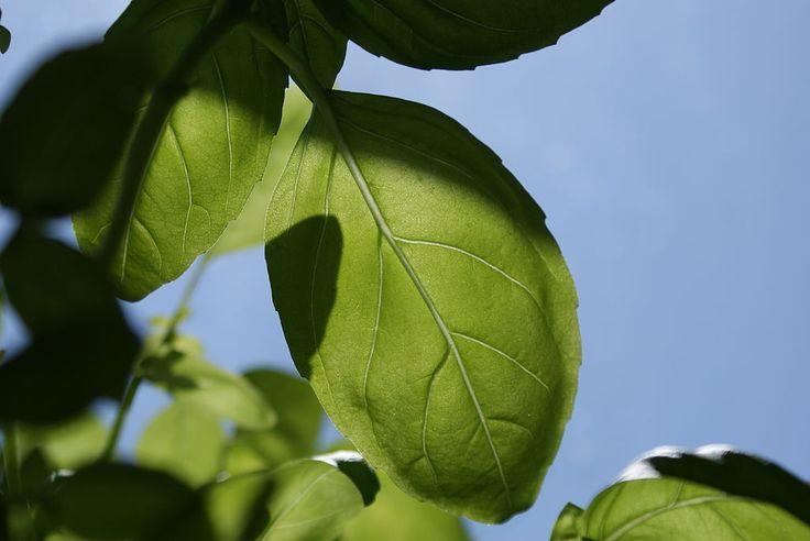 Basil growing in the sun