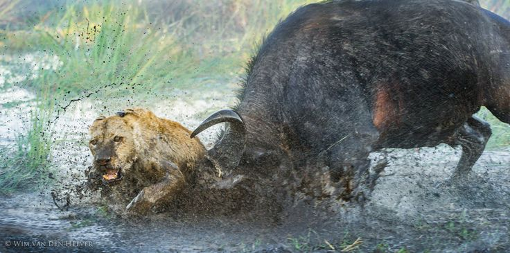waterbuffalo takes exception to lion's food choice. I've seen one angry young bull chase off 6 young lions and free a captured calf from both croc and lions. (via 500px / Enemies by Wim van den Heever)