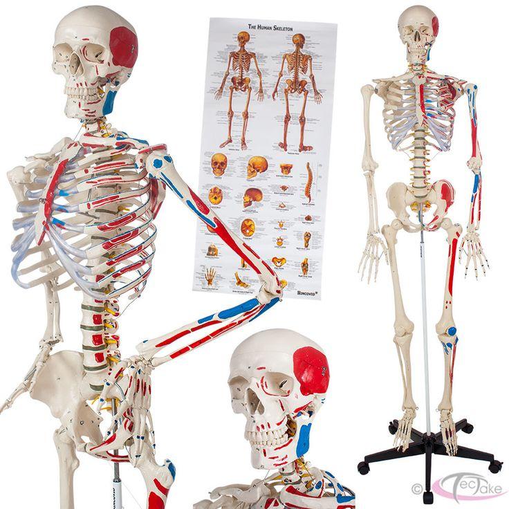 54 best full body skeleton images on pinterest   full body, Skeleton