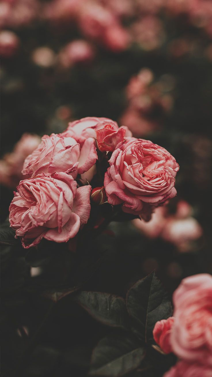 29 Romantic Roses Iphone X Wallpapers Wallpaper Iphone Roses