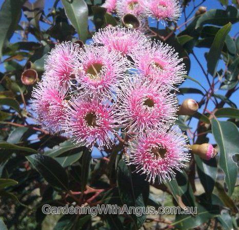 The red flowering gum, Corymbia ficifolia (formerly Eucalyptus ficifolia)