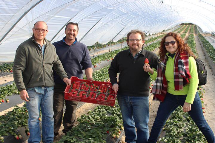 *Campaña de fresa en Huelva: 50% menos de producción, pero mejores precios (vídeo)* #agricultura #agriculture #fresas #strawberries #Huelva