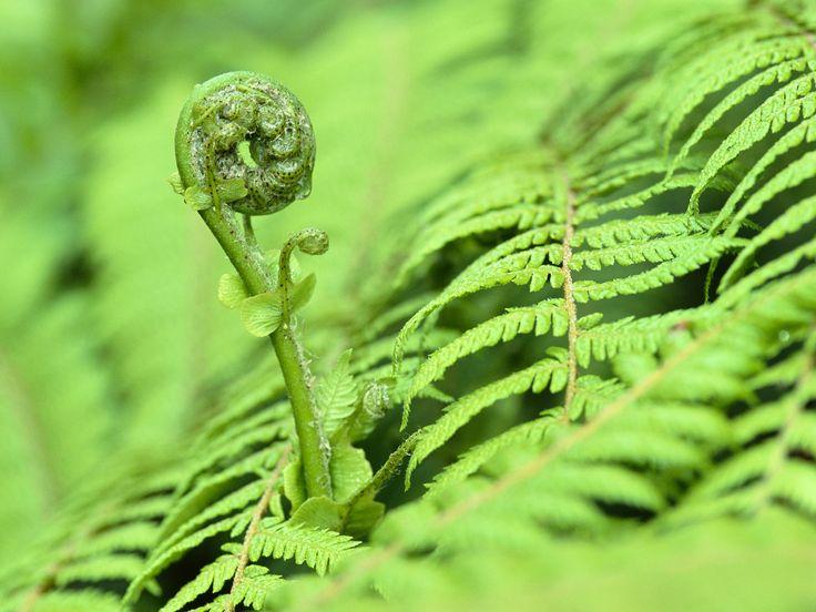 Fiddlehead Fern, Westland National Park, New Zealand