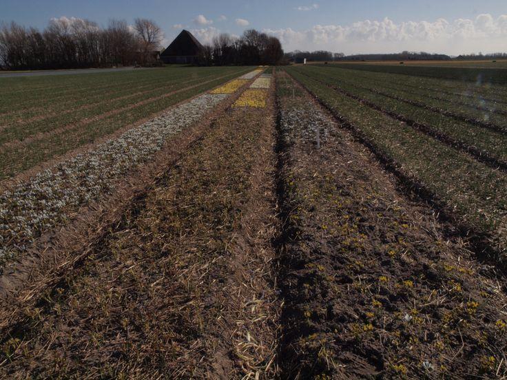 Reticulata Iris blooming in Holland