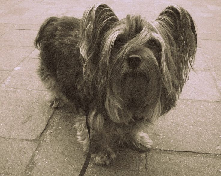 Paisley Terrier - Dog Breed Standards