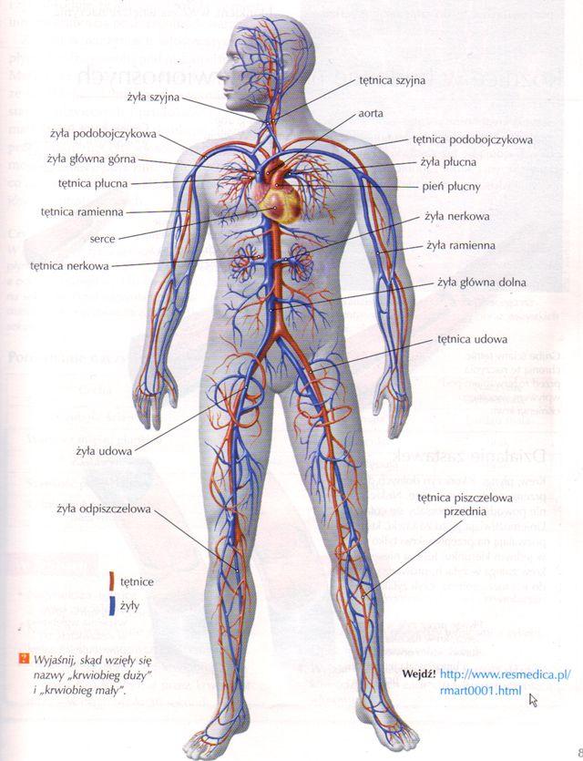 anatomia człowieka układ krwionośny - Szukaj w Google