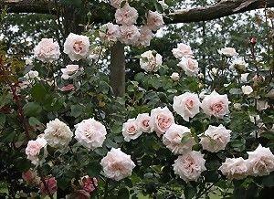 83 best images about rose on pinterest penny lane roses. Black Bedroom Furniture Sets. Home Design Ideas