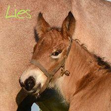 Fokkerij - Stal Groenenbroek - Trekpaarden