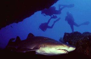 Safaris plongee avec requins