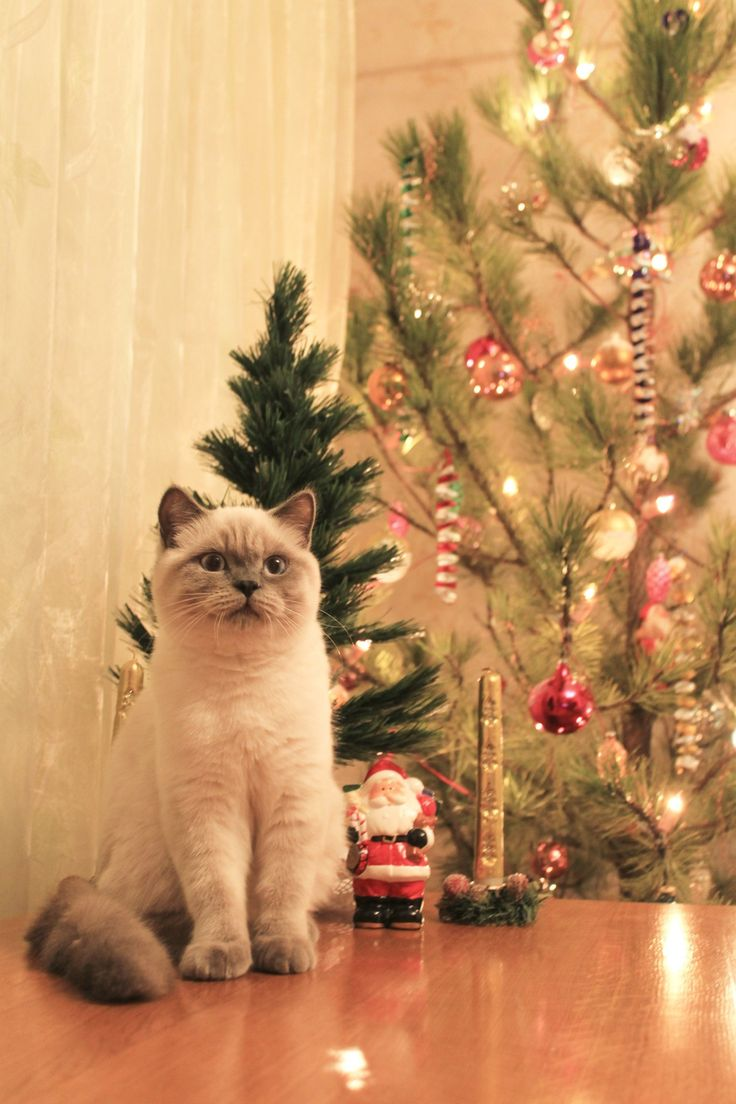 2075 best christmas cats images on pinterest christmas animals