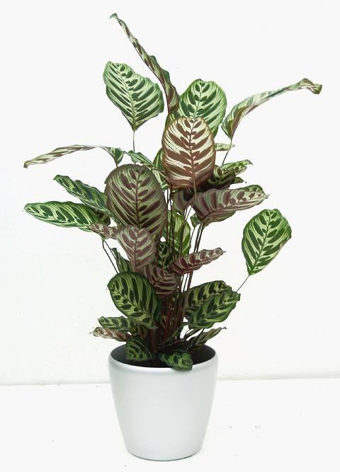 17 Best Images About Common Pot Plants On Pinterest