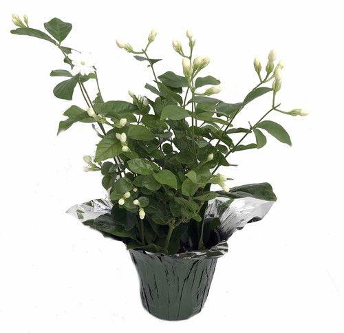 12 best jasmine plants images on pinterest container. Black Bedroom Furniture Sets. Home Design Ideas