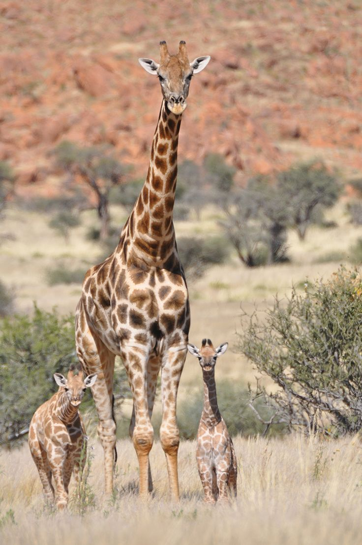 """Angolan giraffes -- now identified as the southern giraffe species -- in northwest Namibia. The Angolan subspecies was described in 1903 and there are an estimated 13000 individuals in the wild."" Photo credit: Julian Fennessy Giraffe Conservation Foundation (GCF) [800 x 1204] [OS]"