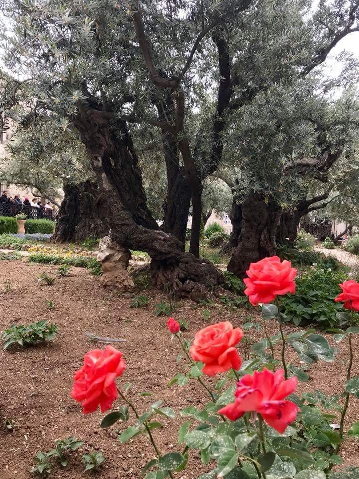 The Garden Of Gethsemane With Images Garden Of Gethsemane Garden Plants