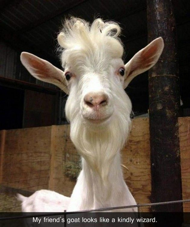 """The distinct advantage of a goat is that it can be taught to butt anyone who tries to steal it."" - Phillip K. Dick"