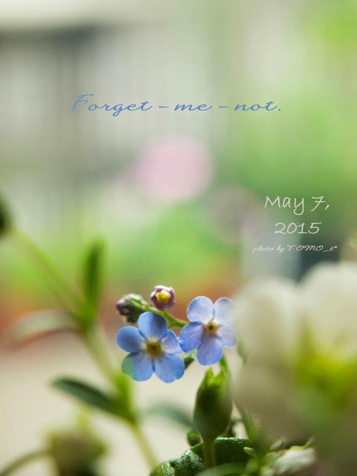 道のりを記憶に残して: 春の花、薄紫デージー&宿根忘れな草/花・ガーデニング