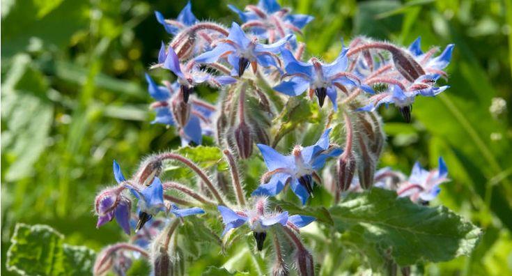 Tui Garden   Grow Edible Flowers in Your Garden