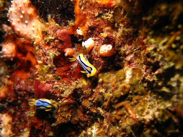 Nudibranch in Weh Island   Flickr - Photo Sharing! By Daniel Kwok