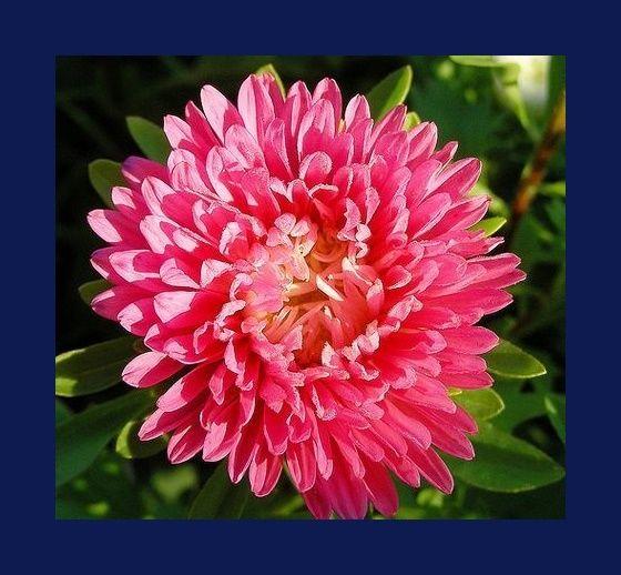 Zenfidan +290 Adet Kasımpatı Çiçeği Tohumu Paketli, Plantistanbul - fidan satışı, fidan siparişi, Meyve Fidanı ve Süs Bitkileri, elma, armut, erik, kiraz, vişne, şeftali, böğürtlen, asma, üzüm