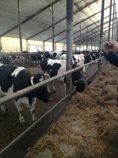 Компания КамАгро  была.......... http://kamagro.com/prodazha-krs/        Компания КамАгро  была основана для осуществление поставок племенного крупно рогатого скота, и формирование популяции молочных, мясных, мясо-молочного направлений КРС, Российского происхождения на территории РФ в системе учета, оценки и идентификации согласно международным стандартам.   Совершенствование и продвижение породы.   Способствование экспорту племенных животных из Российской Федерации.  Наша команда состоит из…