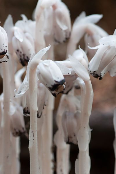 This ghostly white plant is called the Monotropa uniforma, also known as ghost plant, ice plant, indian pipe or fairy smoke.