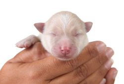 New born puppies need special care, and if their momma cant provide it, you need to step in. Learn how to hand raise and bottle feed newborn puppies here.