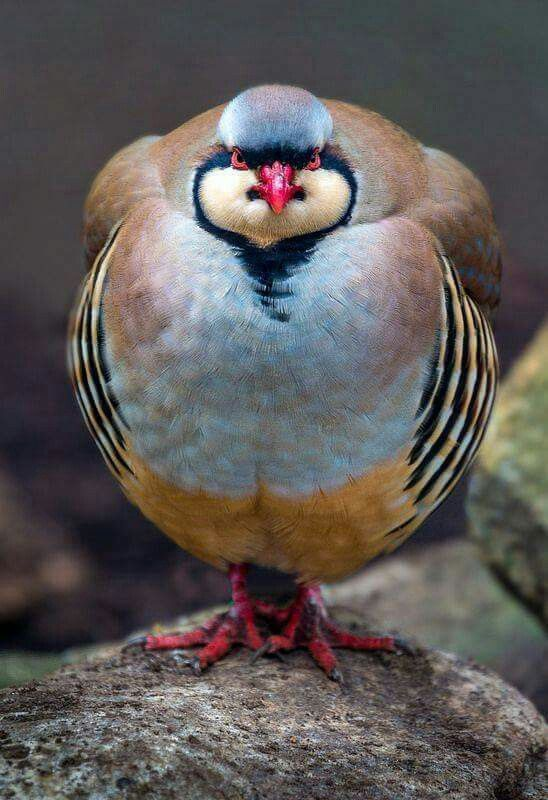 Red-headed Partridge - Gamebird in the pheasant family.