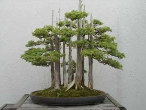 I would love to grow a formal upright Sequoia forest.  Wow.: Bonsai Trees, Growing Bonsai, Art Requir, Bonsai Forests, Kids Movie, Tiny Forests, Bonsai Initials, The Karate Kids, Ancient Art